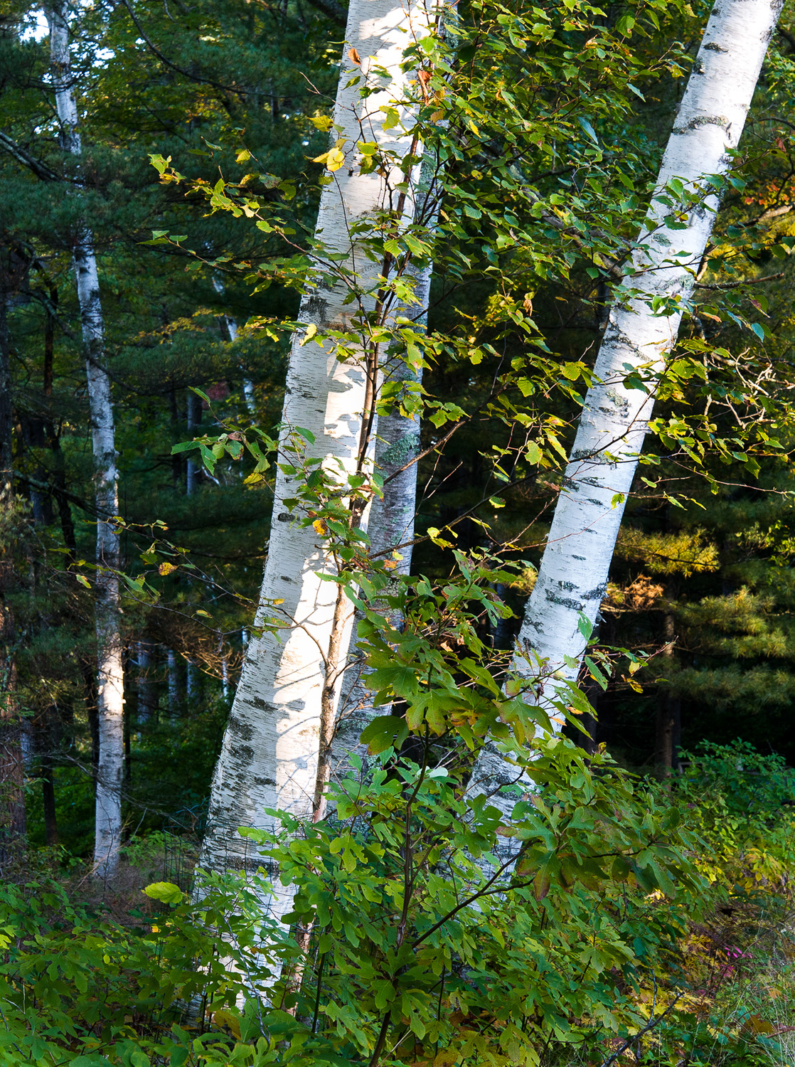 Lighted Birches